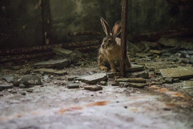 チェルノブイリのウサギ